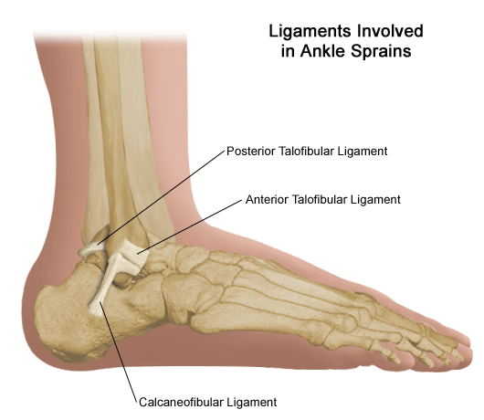 ankle_anatomy